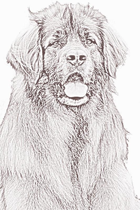 Portrait d'un Léonberg, illustration de Bouba